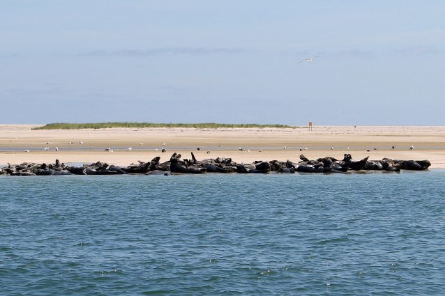 Large grouping of seals on the beach